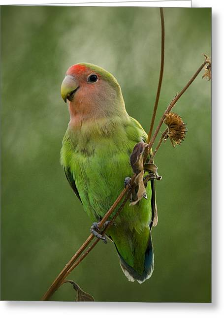Lovely Little Lovebird  Greeting Card by Saija  Lehtonen