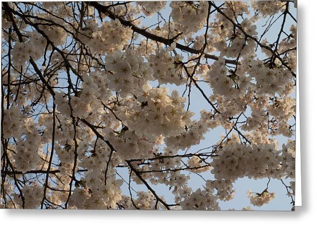 Low Angle View Of Cherry Blossom Greeting Card