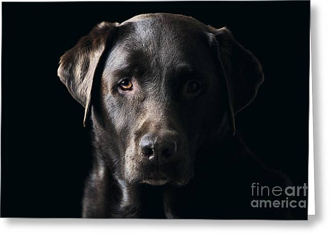 Low Key Chocolate Labrador Greeting Card by Justin Paget