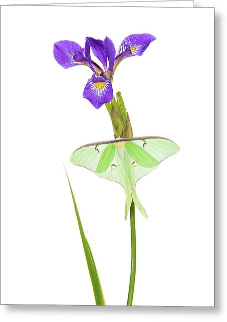 Luna Moth Actias Luna Perching On Blue Greeting Card by Panoramic Images