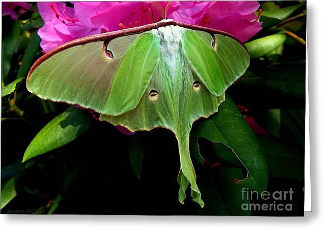 Lady Luna Moth Greeting Card