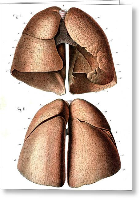 Lung Anatomy Greeting Card by Collection Abecasis