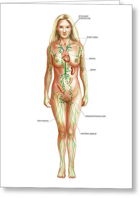 Lymphatic System Greeting Card by Asklepios Medical Atlas