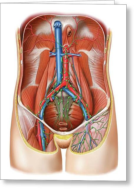 Lymphoid System Of The Abdomen Greeting Card by Asklepios Medical Atlas