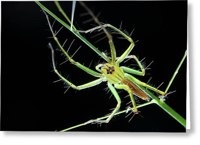 Lynx Spider Greeting Card by Melvyn Yeo