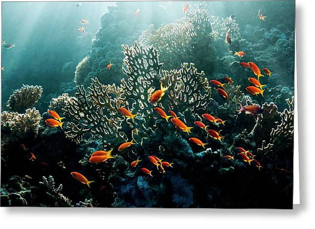 Lyretail Anthias On A Reef Greeting Card by Georgette Douwma