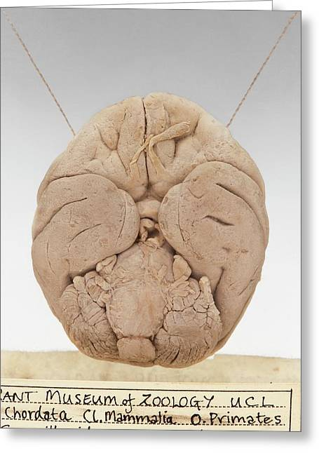 Macaque Brain Greeting Card by Ucl, Grant Museum Of Zoology