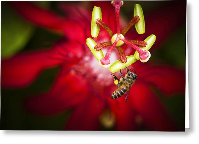 Macro Photograph Of A Bee Collecting Pollen. Greeting Card