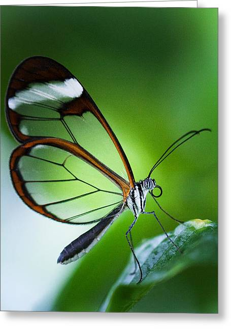 Macro Photograph Of A Glasswinged Butterfly Greeting Card