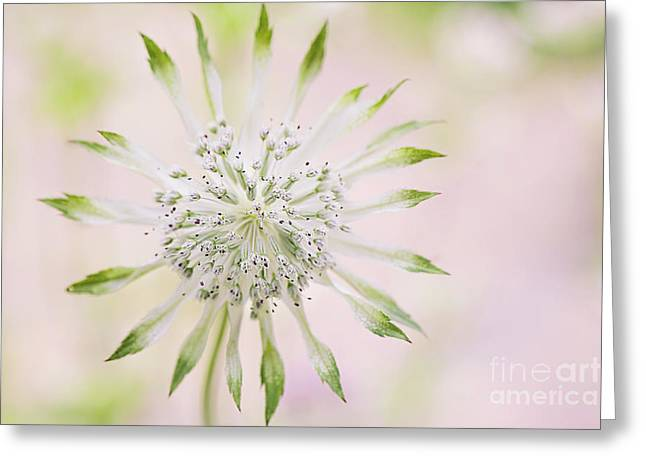 Magical Masterwort Greeting Card by Jacky Parker