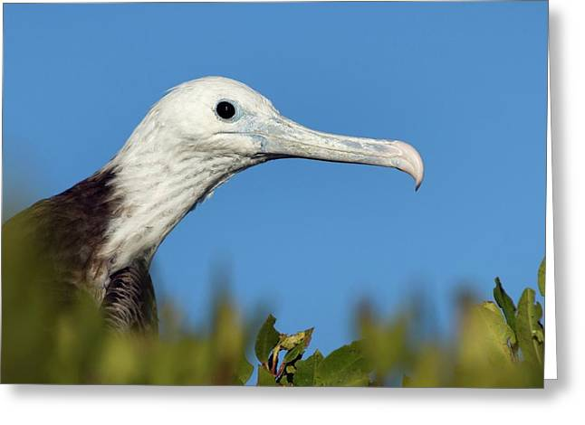 Magnificent Frigate Bird Greeting Card by Christopher Swann/science Photo Library