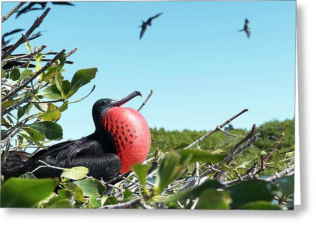 Magnificent Frigatebird Greeting Card by Christopher Swann