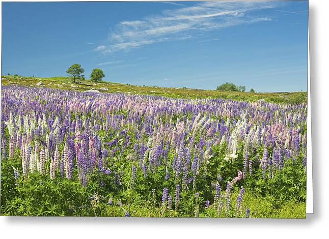 Maine Wild Lupine Flowers Greeting Card by Keith Webber Jr