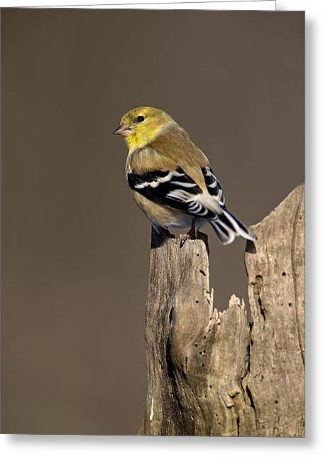 Male American Goldfinch Greeting Card