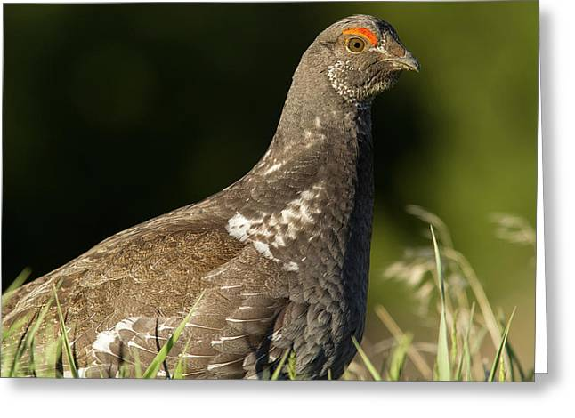 Male Blue Grouse At The National Bison Greeting Card by Chuck Haney
