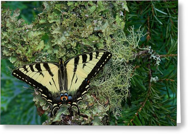 Male Canadian Tiger Swallowtail Greeting Card by Darrell Gulin