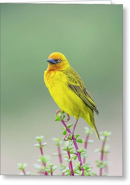 Male Cape Weaver Greeting Card