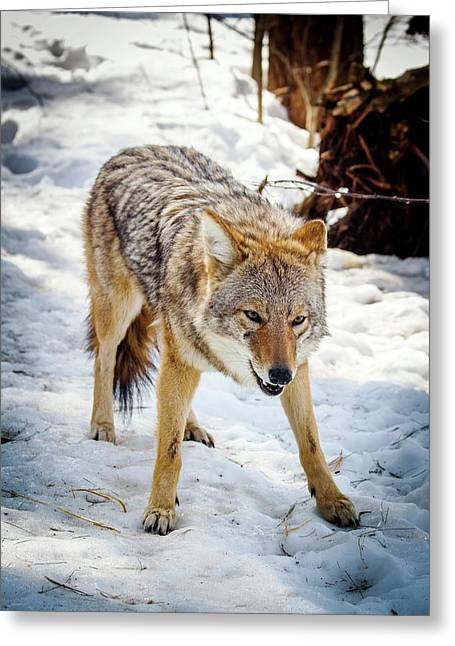 Male Coyote In Snow Greeting Card