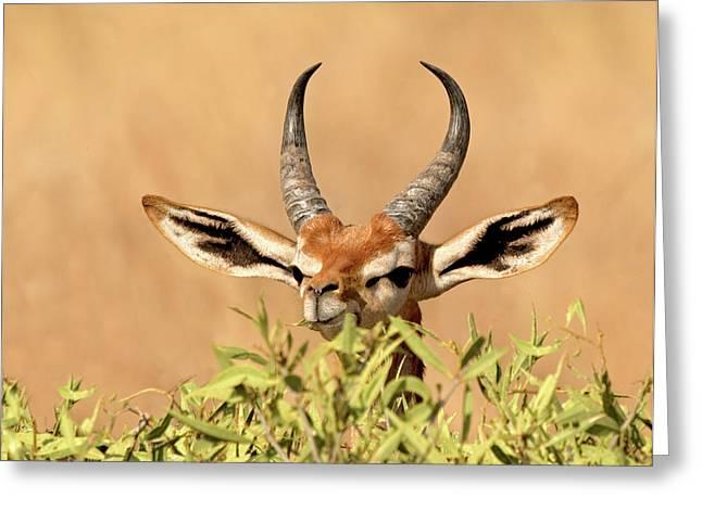 Male Gerenuk Litocranius Walleri Greeting Card