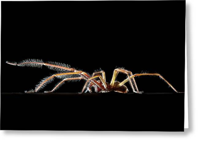Male House Spider Greeting Card
