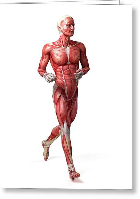 Male Muscular System Greeting Card