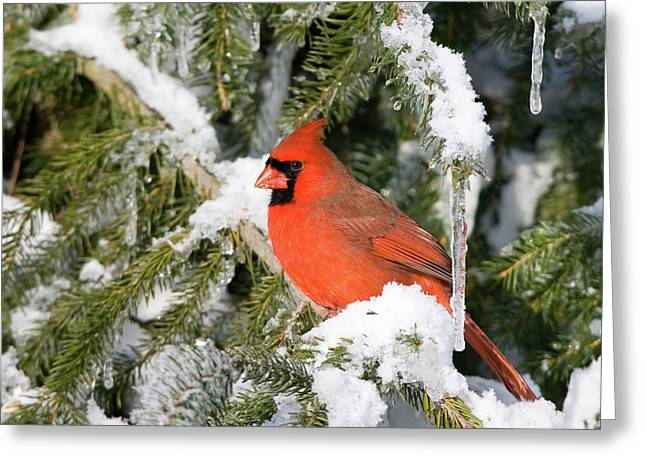 Male Northern Cardinal Cardinalis Greeting Card by Panoramic Images