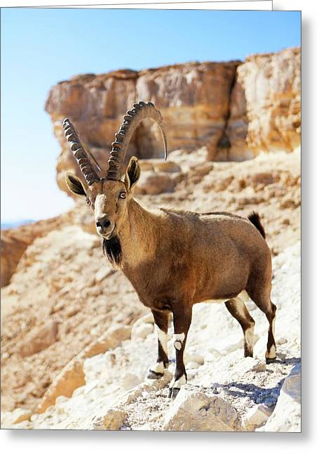 Male Nubian Ibex Greeting Card by Photostock-israel