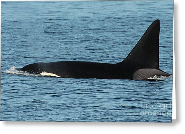 Greeting Card featuring the photograph Male Orca Killer Whale In Monterey Bay California 2013 by California Views Mr Pat Hathaway Archives