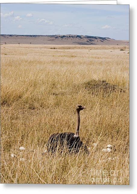 Male Ostrich Sitting On Communal Eggs Greeting Card by Gregory G. Dimijian, M.D.