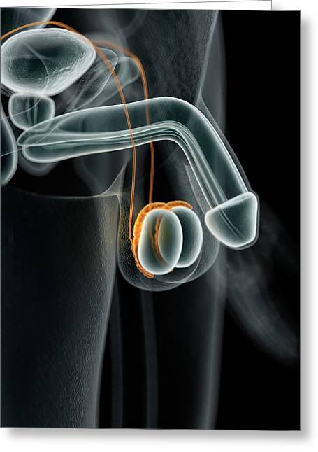 Male Penis Greeting Card by Sciepro