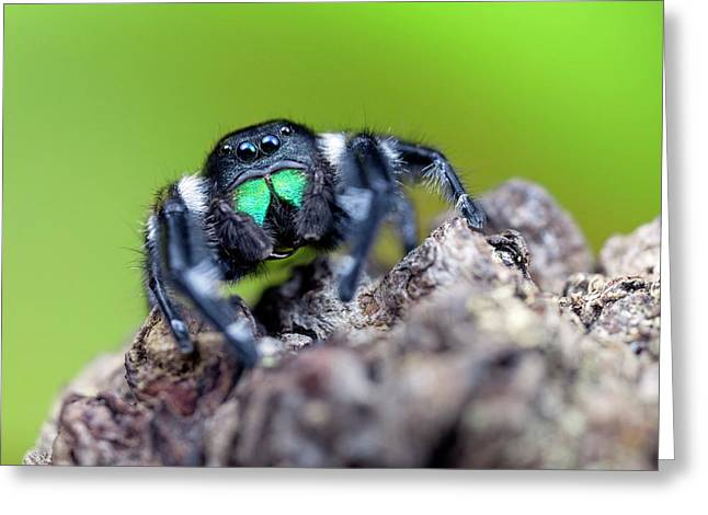 Male Regal Jumping Spider Greeting Card