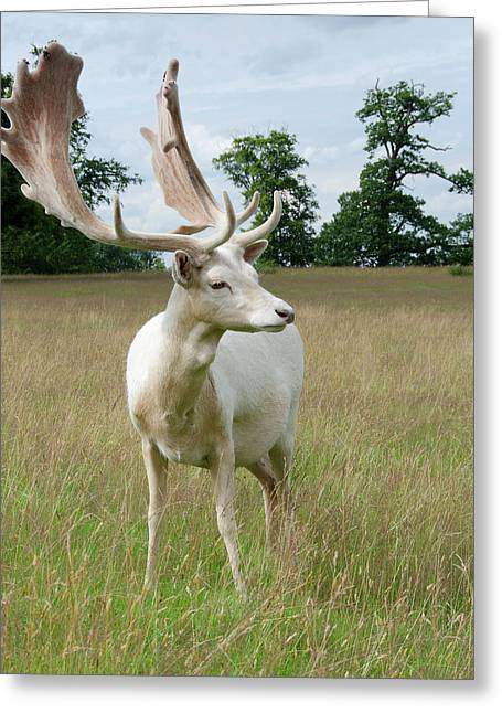 Male White Fallow Deer Greeting Card