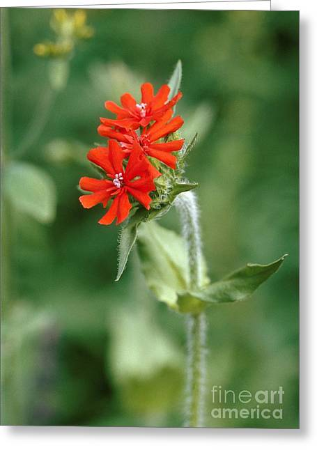 Maltese Cross Lychnis Chalcedonica Greeting Card by Vaughan Fleming