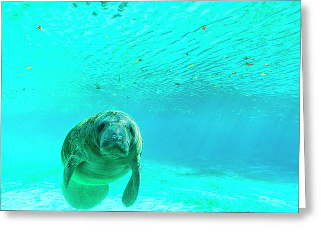 Manatee Swimming In Clear Water Greeting Card