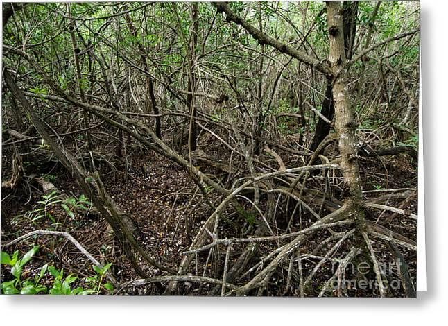 Mangrove Roots Greeting Card