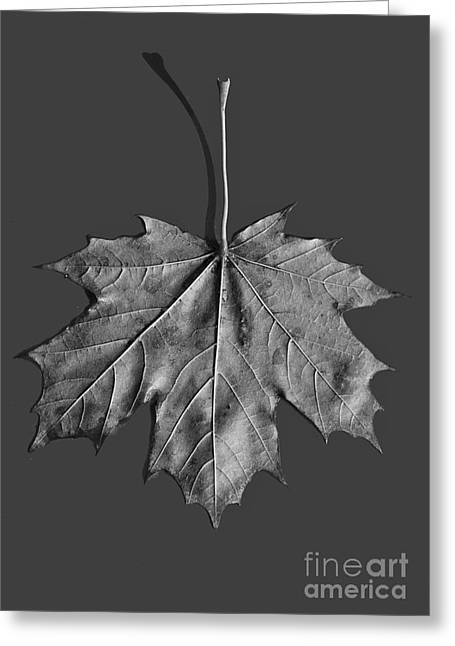 Maple Leaf Greeting Card by Steven Ralser