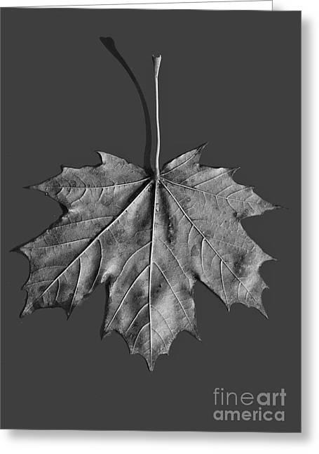Maple Leaf Greeting Card by Steven Ralser