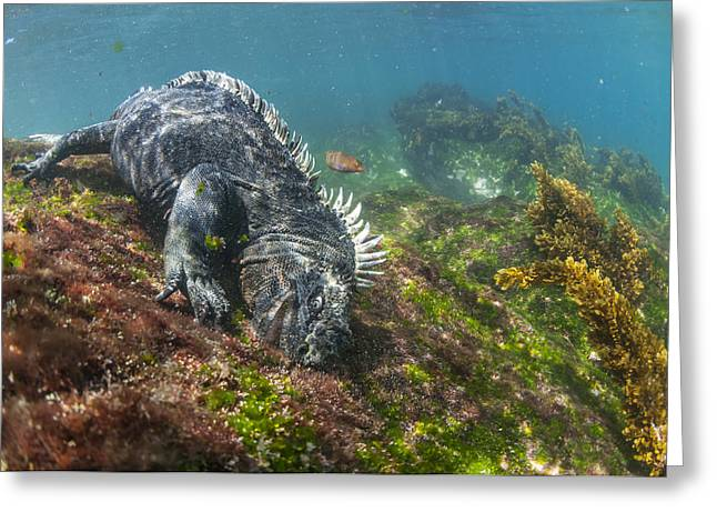 Marine Iguana Feeding On Algae Punta Greeting Card