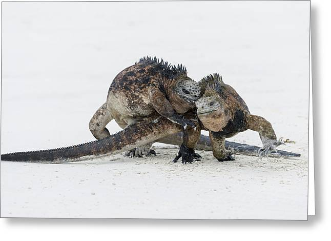 Marine Iguana Males Fighting Turtle Bay Greeting Card by Tui De Roy