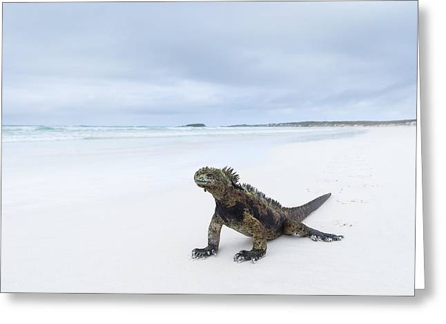 Marine Iguana Turtle Bay Santa Cruz Greeting Card by Tui De Roy