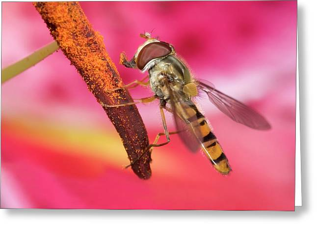 Marmalade Icon Hover-fly Greeting Card by Nigel Downer