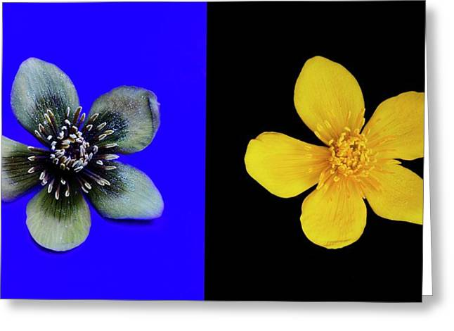 Marsh Marigold In Uv Light And Daylight Greeting Card by Cordelia Molloy