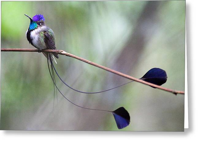 Marvelous Spatuletail Greeting Card by Max Waugh