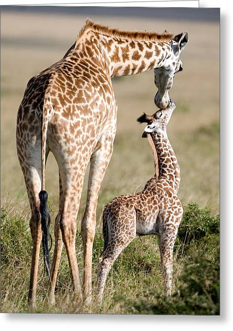 Masai Giraffe Giraffa Camelopardalis Greeting Card by Panoramic Images