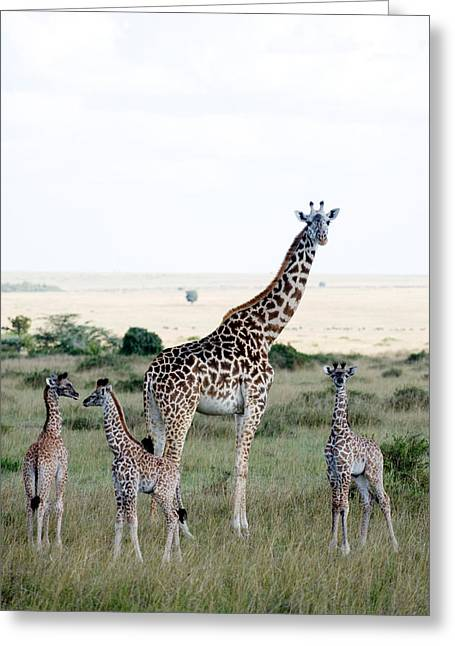 Masai Giraffes Giraffa Camelopardalis Greeting Card by Panoramic Images