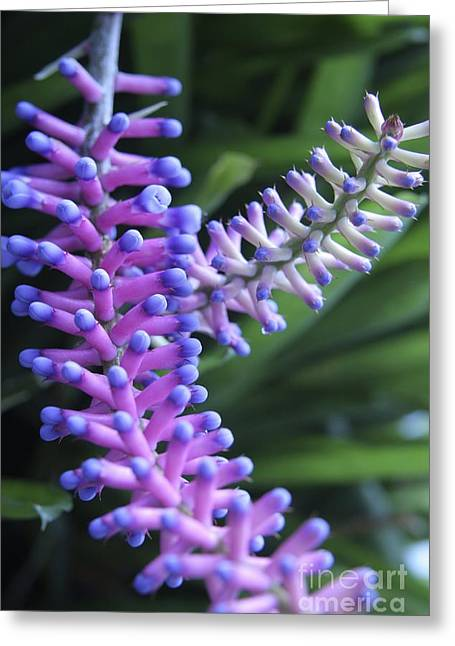 Matchsticks Bromeliad Aechmea Sp Greeting Card