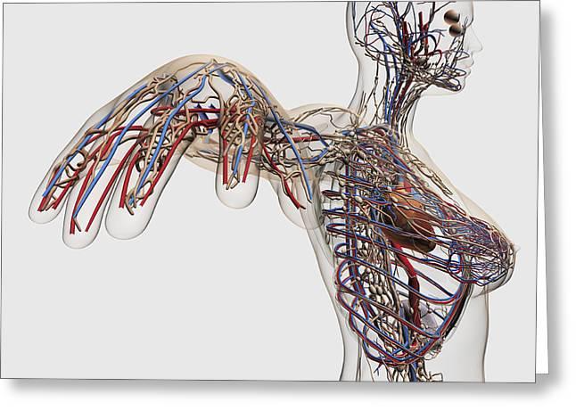 Medical Illustration Of Arteries, Veins Greeting Card