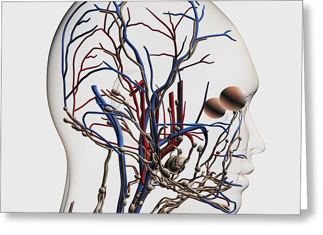 Medical Illustration Of Head Arteries Greeting Card by Stocktrek Images
