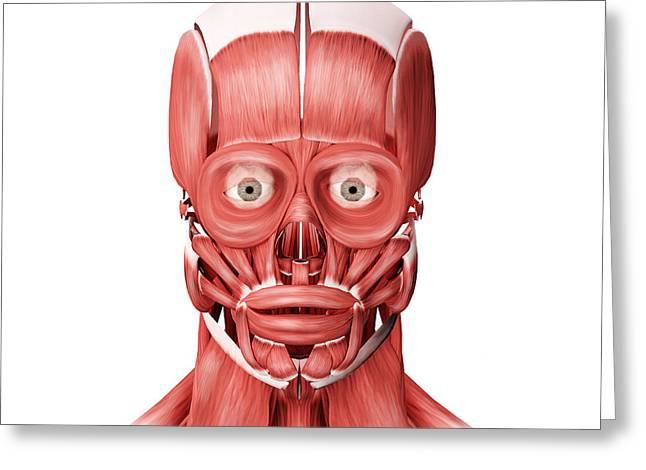 Medical Illustration Of Male Facial Greeting Card by Stocktrek Images