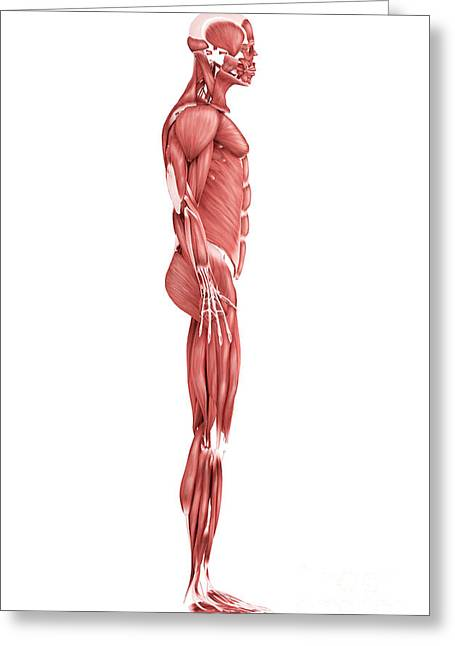 Medical Illustration Of Male Muscular Greeting Card by Stocktrek Images